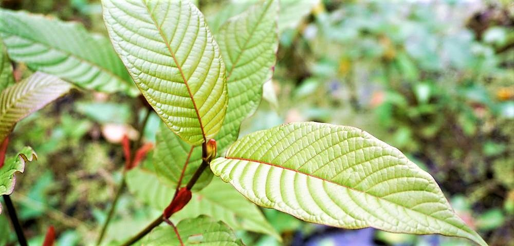 Be Careful when you misuse kratom products