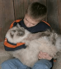 The cuddly nature of a Ragdoll cat