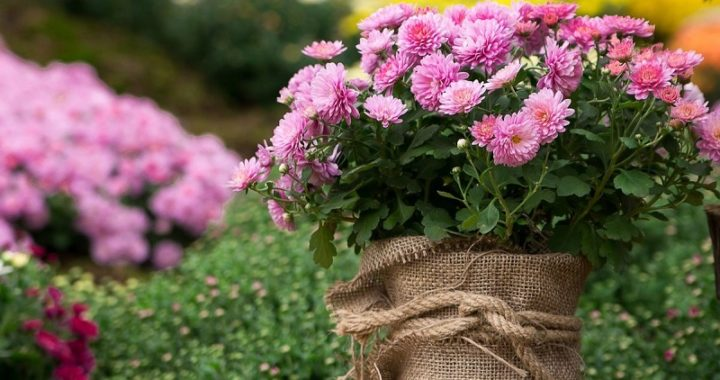 Chrysanthemums: Planting And Care In The Open Field
